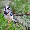 The Blue Jay allowed me a close-up this morning.