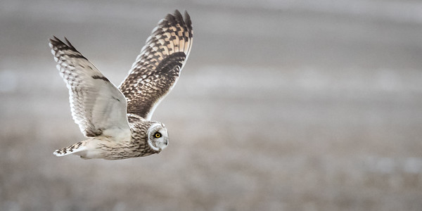 SE Owl in flight 9580-9580
