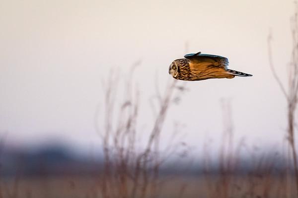 SE Owl in flight  -7935