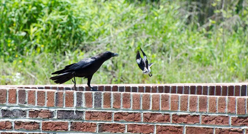 Mocking bird is not amused...