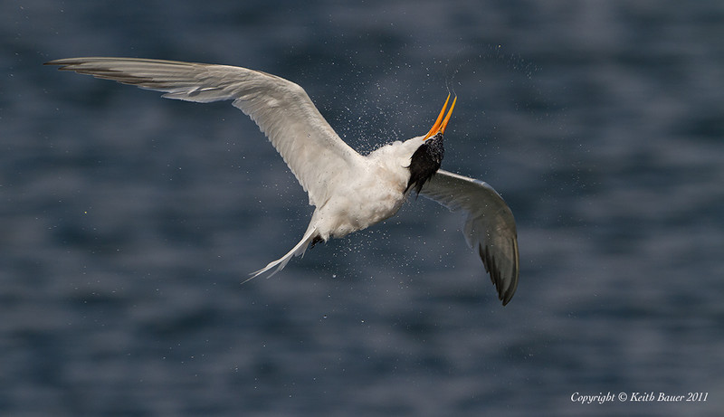 Elegant Tern Headshake - Not it is not the Exorcist