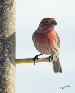 House Finch on Feeder