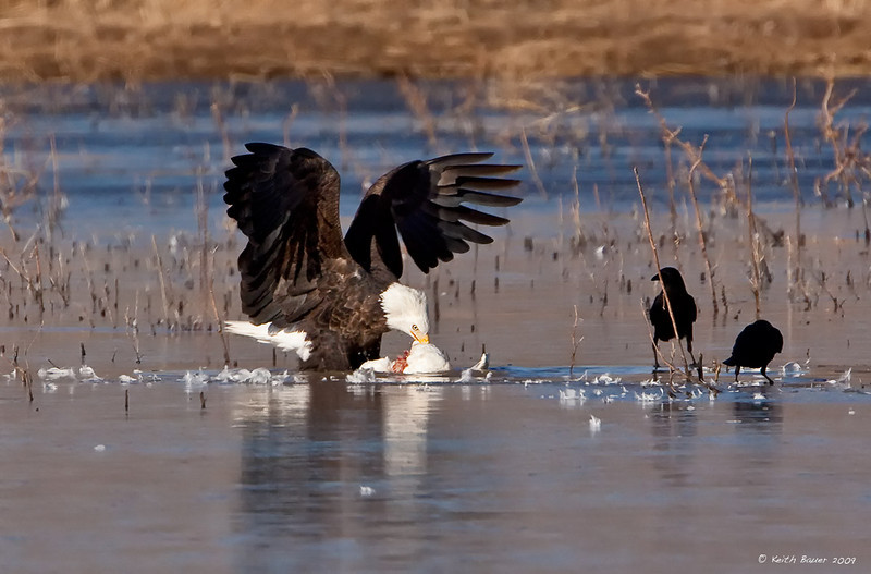 Bald Eagle - Dining on a Goose