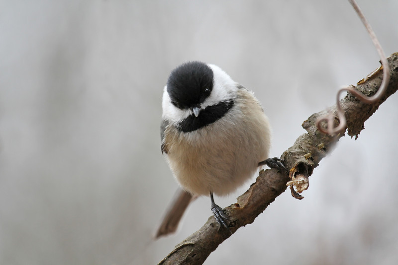 A Black-capped Chickadee perched on a tree branch