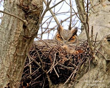 Great Horned Owl sitting on her eggs.