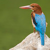 "Stork-Billed Kingfisher "" Maysore"" India"