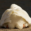 White Goose Watching You