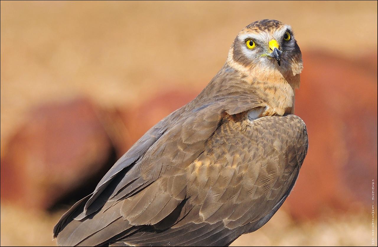 Montagu's Harrier (juvenile male)