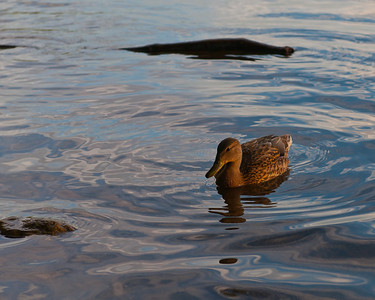 Mallard at sunset on Mystic Lake, MA, on 20110816.