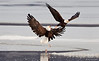 Bald Eagles - Fight for Fish