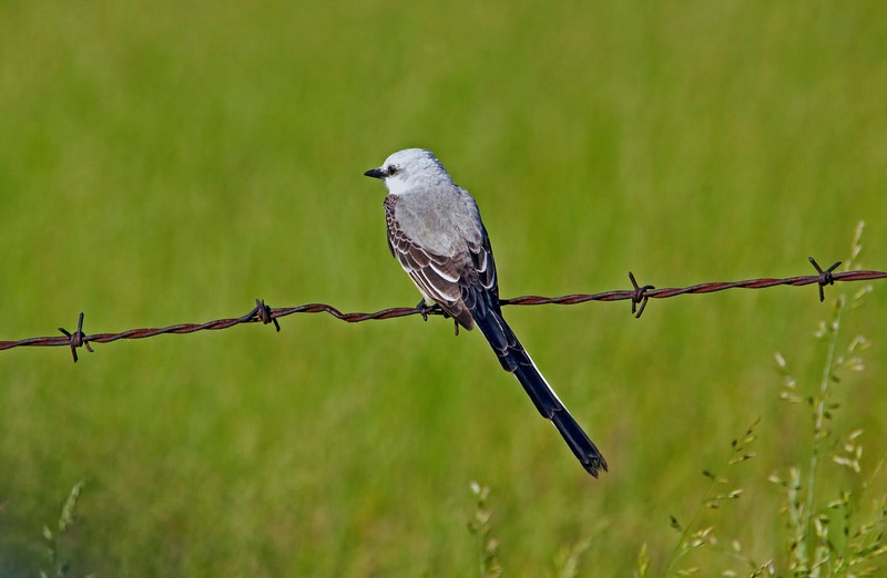 I never expected to see a pair of scissor-tailed flycatchers in Missouri, but that's where I photographed this one. The mate was on the same barbed wire fence. I'm guessing the drought in Texas has forced them to migrate north.
