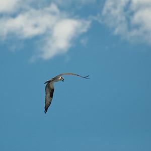 Osprey at Nashua River (MA) on 20100702