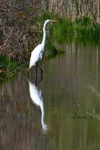 Great Egret, adult - Ardea alba.