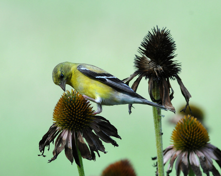 American Goldfinch, Female