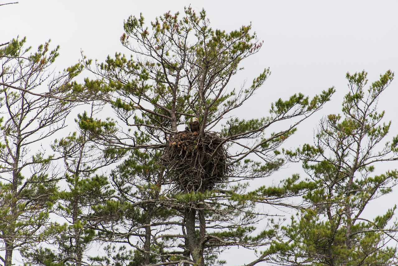 Eagle with chick on Big Lake, Grand Lake Stream, Maine - June 2015