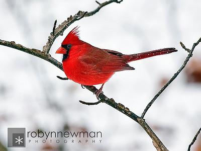 Northern Cardinal 01/10/11