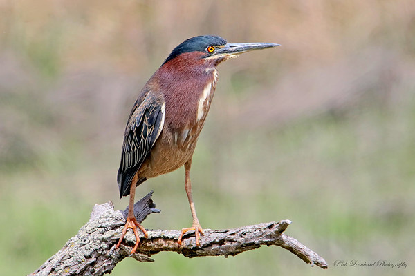 Green Heron at The Oceanside Nature Marine Study Area.