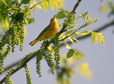 YellowWarbler2_2779