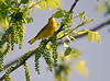 YellowWarbler2_2779