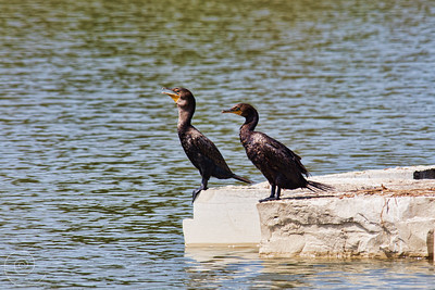 Cormorants? at the Prairie Center for the Arts, Schaumburg, Illinois