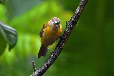 Passerini's Tanager (female)