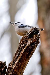 White-breasted Nuthatch (Sitta carolinensis).