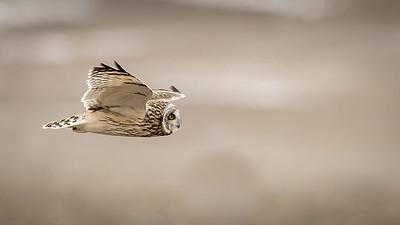 SE Owl in flight Large 9591-