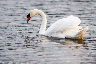 335/365 - Swan