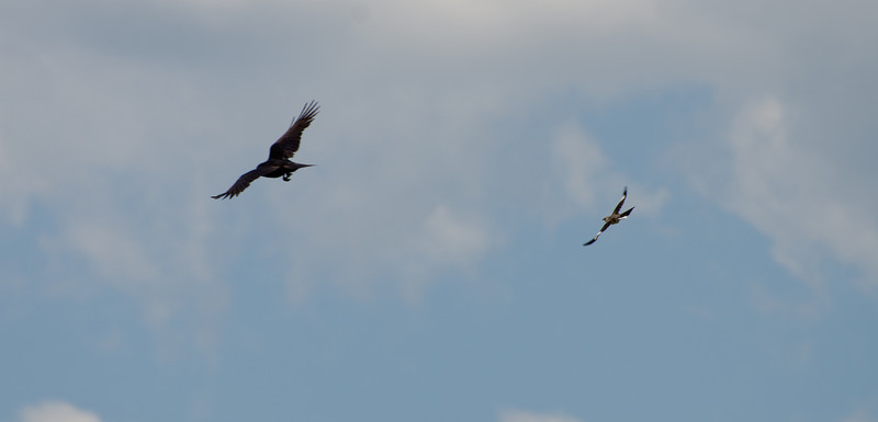 Intruder leaving the scene, with mocking bird in tow...