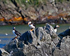 Puffins on a rock on Great Island near Mobile NF