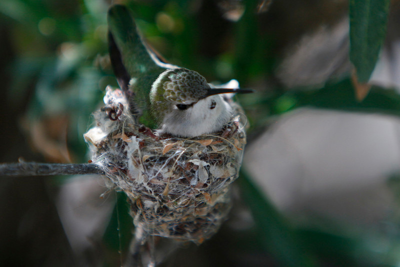 Female black chinned Humingbird nest?
