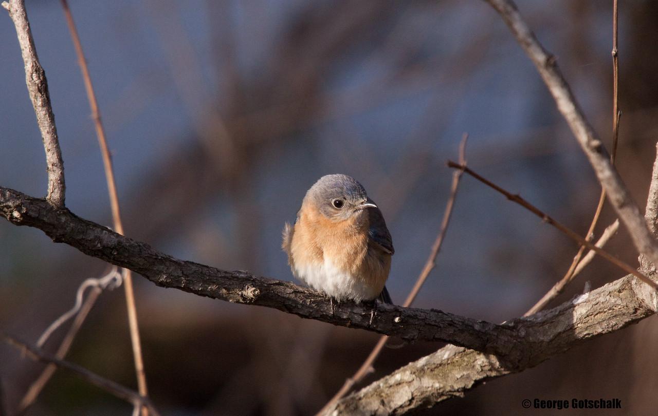 Juvenile Eastern Bluebird.