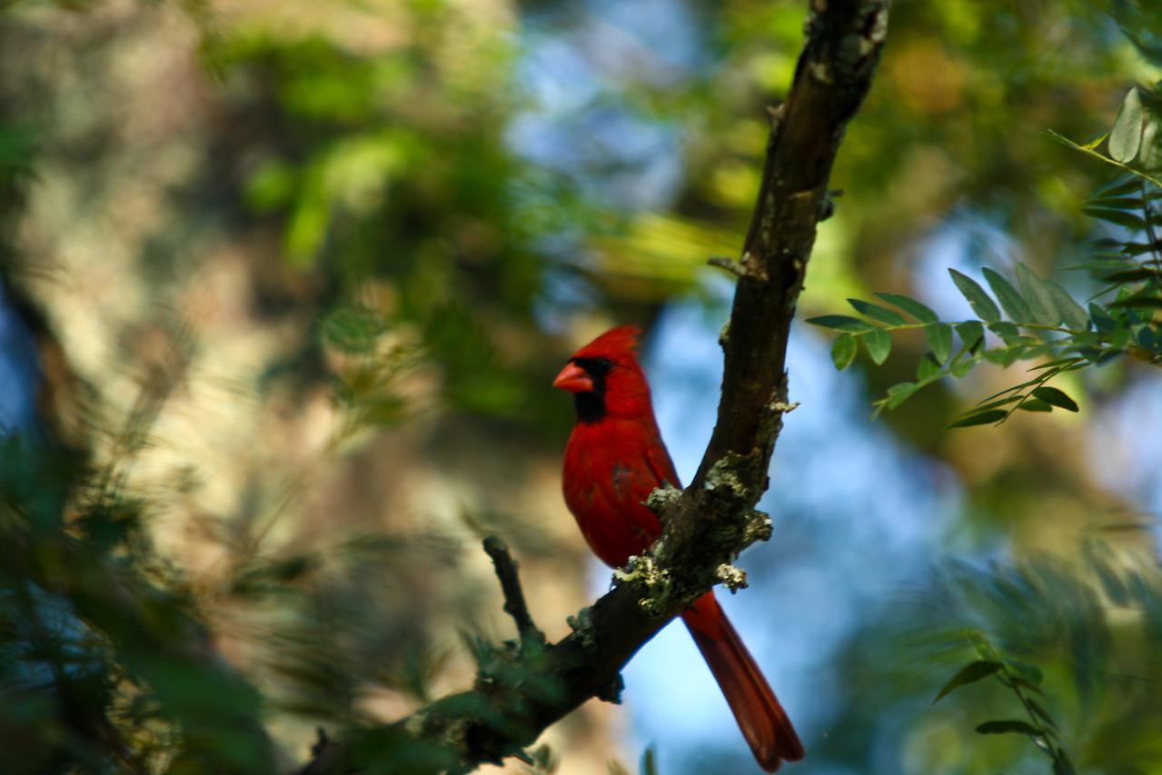 cardinal-4
