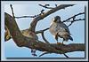Peregrine Falcon at Boundary Bay, Delta, BC (w/ Sigma 50-500 Bigma)