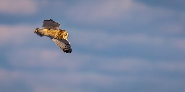 SE Owl in flight -7994