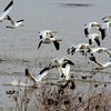 Snow Geese migration stop-over at Middle Creek, PA
