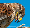 Ferrginous Hawk
