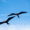 frigate birds overhead.