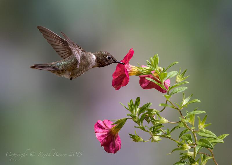 Male Black Chinned Hummingbird