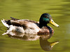 A male duck with green head plumage swimming in a pond in the Seattle Arboretum.