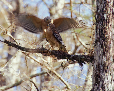 Male red shouldered hawk approaches female in Corkscrew Swamp, Florida.