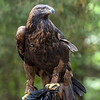 The magnificent Golden Eagle