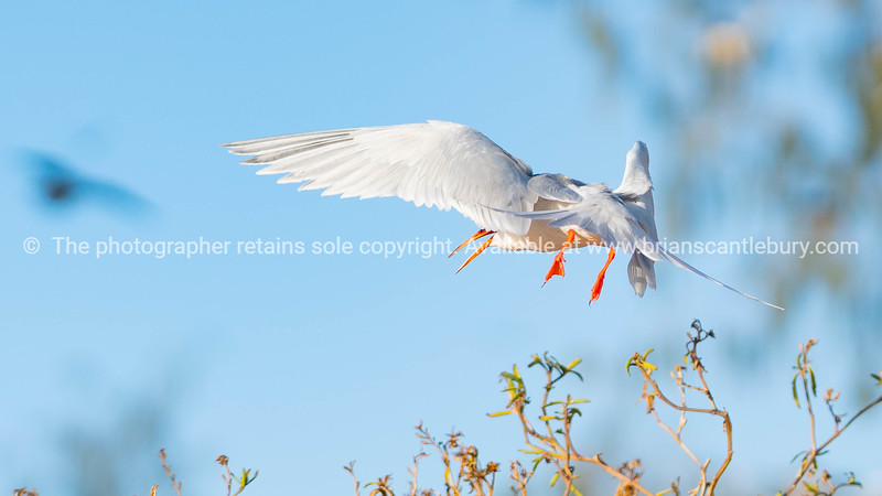 Roseate Tern flying past