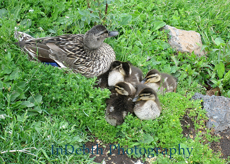 0463 Duck and brood - 5X7