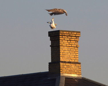 Seagull and Buzzard. Photo: Martin Bager.