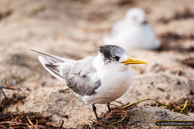 Right Tern