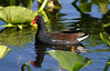 """Common Gallinule Reflections"" (<i>Gallinula galeata</i>) Everglades, Florida"