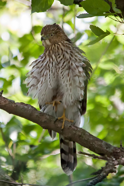 I got extremely lucky catching this hawk in my backyard. Several house sparrows were busy at the feeder and all of a sudden there was dead silence. I looked up and there it was checking things out.