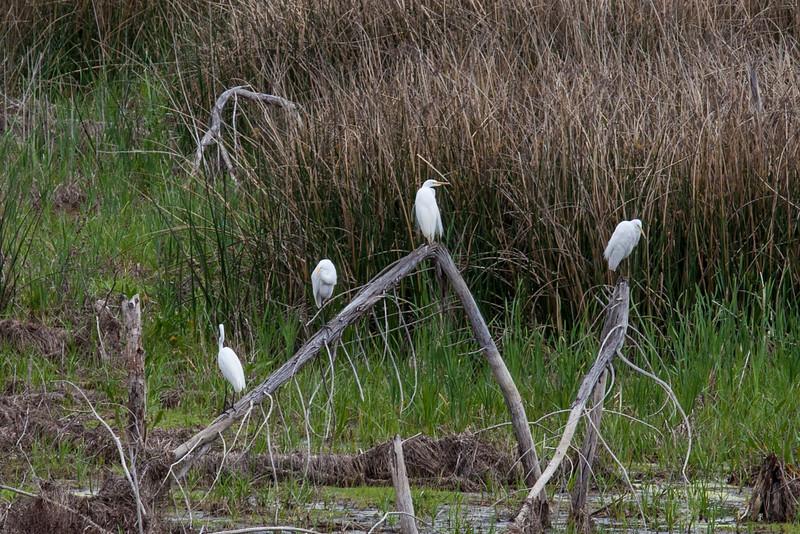 Egrets on a stick