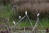 Egrets on a stick
